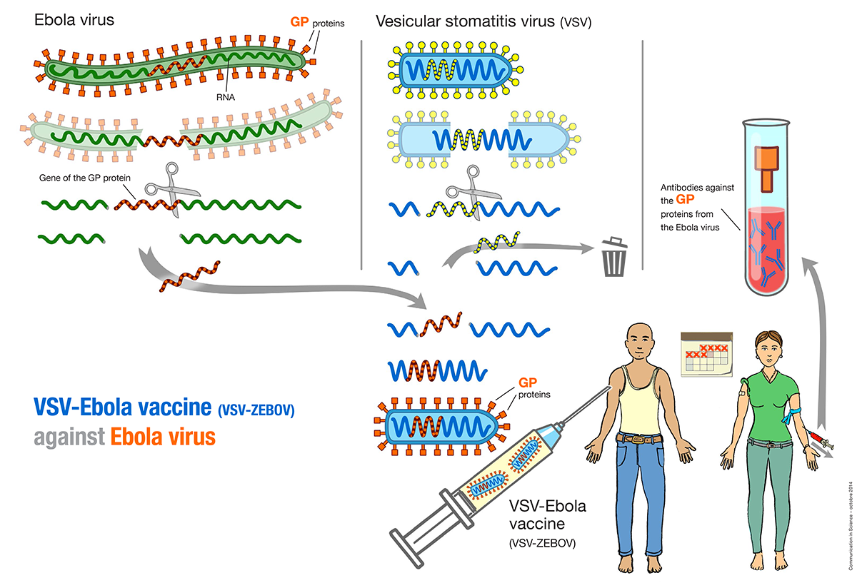 Production of the experimental VSV-Ebola vaccine